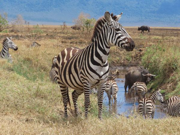 zebras and water buffalo standing on grassland
