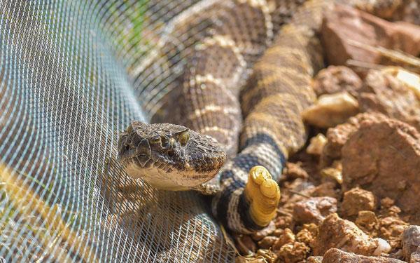 rattlesnake resting against fence